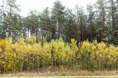 与黄色叶子的桦树在秋天森林里 库存照片