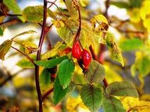 与黄色叶子的秋天红色莓果灌木,特写镜头 图库摄影