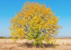 与黄色叶子的结构树 库存图片