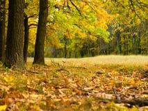 与黄色和树的五颜六色的秋天风景 橡木森林自然本底 免版税库存图片