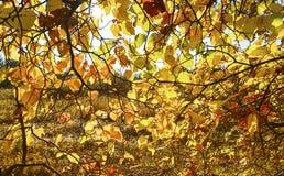 与黄色和红色秋叶的背景在树 库存图片