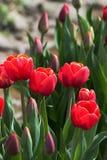 与黄色外缘的红色郁金香 免版税库存图片