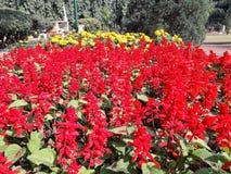 与黄色庭院花的红色羽扇豆花 库存照片