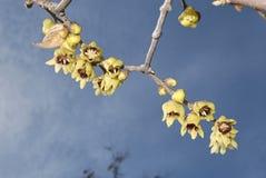 与黄色开花的萼praecox 免版税图库摄影