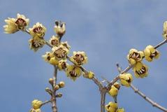 与黄色开花的萼praecox 免版税库存照片