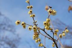 与黄色开花的萼praecox 库存照片