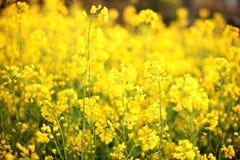 与黄色强奸、油菜籽或者油菜领域的风景农村风景 油菜籽领域,开花的油菜花紧密  在f的强奸 免版税库存图片