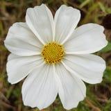 与黄色心脏的白色野花 免版税库存照片