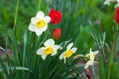 与黄色心脏的白色黄水仙和生长在庭院里的红色郁金香 免版税库存图片