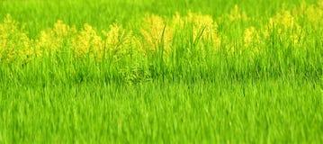 与黄色杂草的发光泽的绿色稻田 免版税库存照片