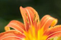 与黄色条纹和花粉的橙色百合 库存照片