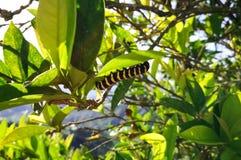 与黄色条纹的黑毛虫在柠檬树 图库摄影