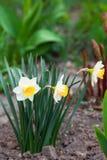 与黄色核心的白色黄水仙在庭院里增长 库存照片