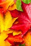 与黄色槭树叶子的秋天背景 美好的秋天骗局 库存图片