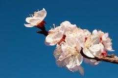 与黄色毅力和红色花萼的白色杏子花在蓝色晴朗的天空 库存照片