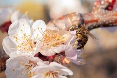 与黄色毅力和红色花萼的白色杏子花在蓝色晴朗的天空 免版税库存图片