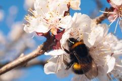 与黄色毅力和红色花萼的白色杏子花在蓝色晴朗的天空 免版税图库摄影