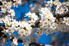 与黄色毅力和红色花萼的白色苹果花在蓝色晴朗的天空 免版税库存照片