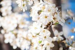 与黄色毅力和红色花萼的白色苹果花在蓝色晴朗的天空 免版税库存图片
