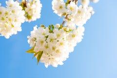 与黄色毅力和黄色花萼的白色appletree花 图库摄影