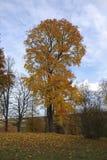 与黄色的一棵树在山,蓝天背景离开 图库摄影