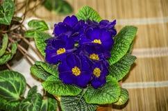 与黄色的室内植物蓝色紫色紫罗兰在塑料罐的中部在秸杆席子 库存图片