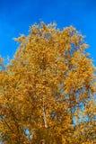 与黄色的桦树在蓝天背景离开  免版税图库摄影