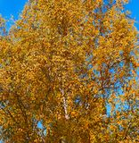 与黄色的桦树在蓝天背景离开  免版税库存图片