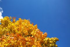 与黄色的槭树在蓝天背景离开  库存图片