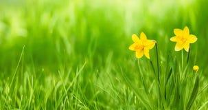 与黄色的自然土气春天墙纸开花黄水仙 免版税库存照片