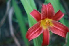 与黄色的Corolful红色黄花菜花在星形状 图库摄影