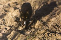 与黄色眼睛的一只猫在狩猎去 库存图片