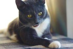 与黄色眼睛的一只美丽的灰色猫做了一张奇怪的面孔 库存照片