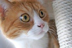 与黄色眼睛的一只美丽的猫 免版税库存照片