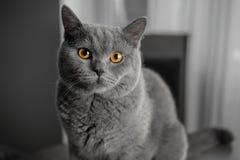 与黄色眼睛的美丽的英国灰色猫特写镜头画象 免版税图库摄影