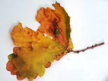 与黄色秋叶的橡木在一白色backgr的分支和橡子 库存图片