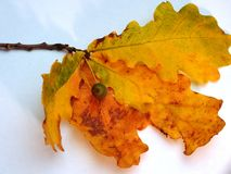 与黄色秋叶的橡木在一白色backgr的分支和橡子 免版税库存照片