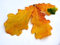 与黄色秋叶的橡木在一白色backgr的分支和橡子 免版税图库摄影