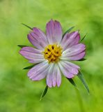 与黄色耻辱的美丽的紫色白花 免版税库存照片