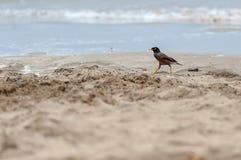 与黄色腿的小海鸟在沙子海滩 图库摄影