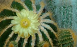 与黄色花的仙人掌 顶视图 库存照片