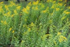 与黄色花的加拿大菊科植物在夏天 库存照片
