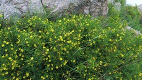 与黄色花的植物Jasminum fruticans在山的石地面增长 股票视频