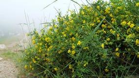 与黄色花的植物Jasminum fruticans在山的石地面增长 股票录像