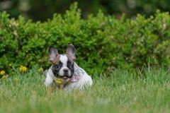 与黄色花的牛头犬小狗在开放嘴 逗人喜爱的最好的朋友 免版税图库摄影