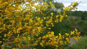 与黄色花的笤帚灌木 股票录像