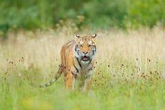 与黄色花的老虎 东北虎在美丽的栖所 坐在草的阿穆尔河老虎 有危险生命的开花的草甸 免版税库存照片
