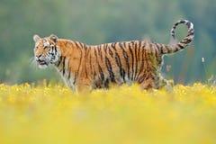 与黄色花的老虎 东北虎在美丽的栖所 坐在草的阿穆尔河老虎 有危险生命的开花的草甸 库存图片