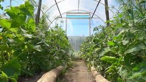 与黄色花的蕃茄幼木自一间明亮的温室增长在一个晴朗的地方,慢动作 股票视频
