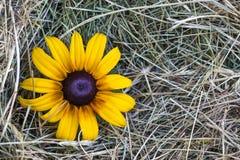 与黄色花的黄色秸杆干草 免版税图库摄影